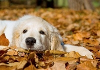 Pies, Golden Retriever, Li�cie, Jesie�