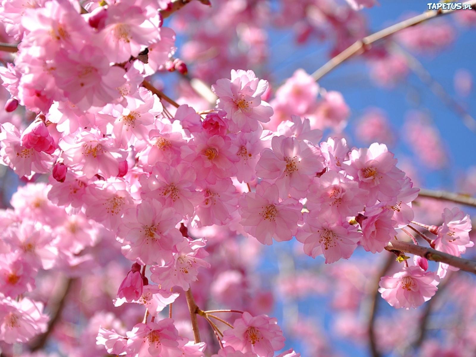 Tapeta Różowe, Kwiaty, Jabłoni, Wiosna