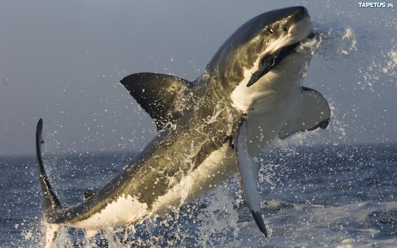 Atakuj cy rekin woda wyskok for Best white fish to eat