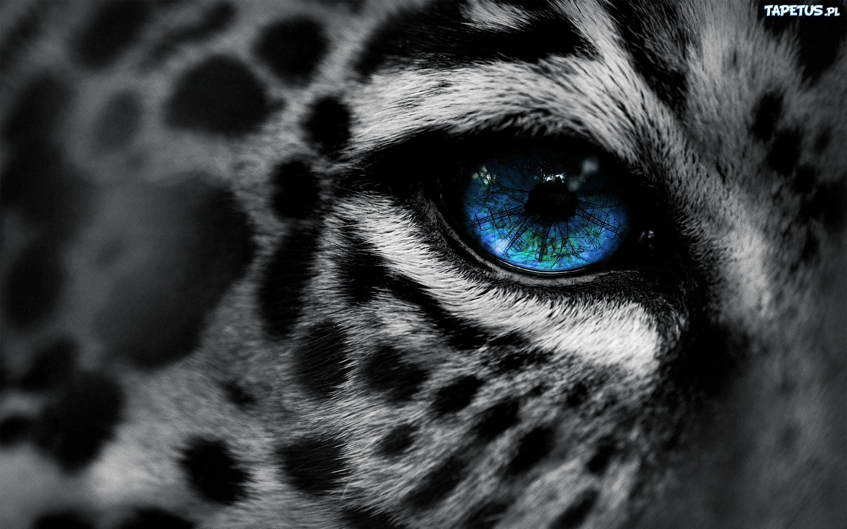 angry white tiger blue eyes - photo #28