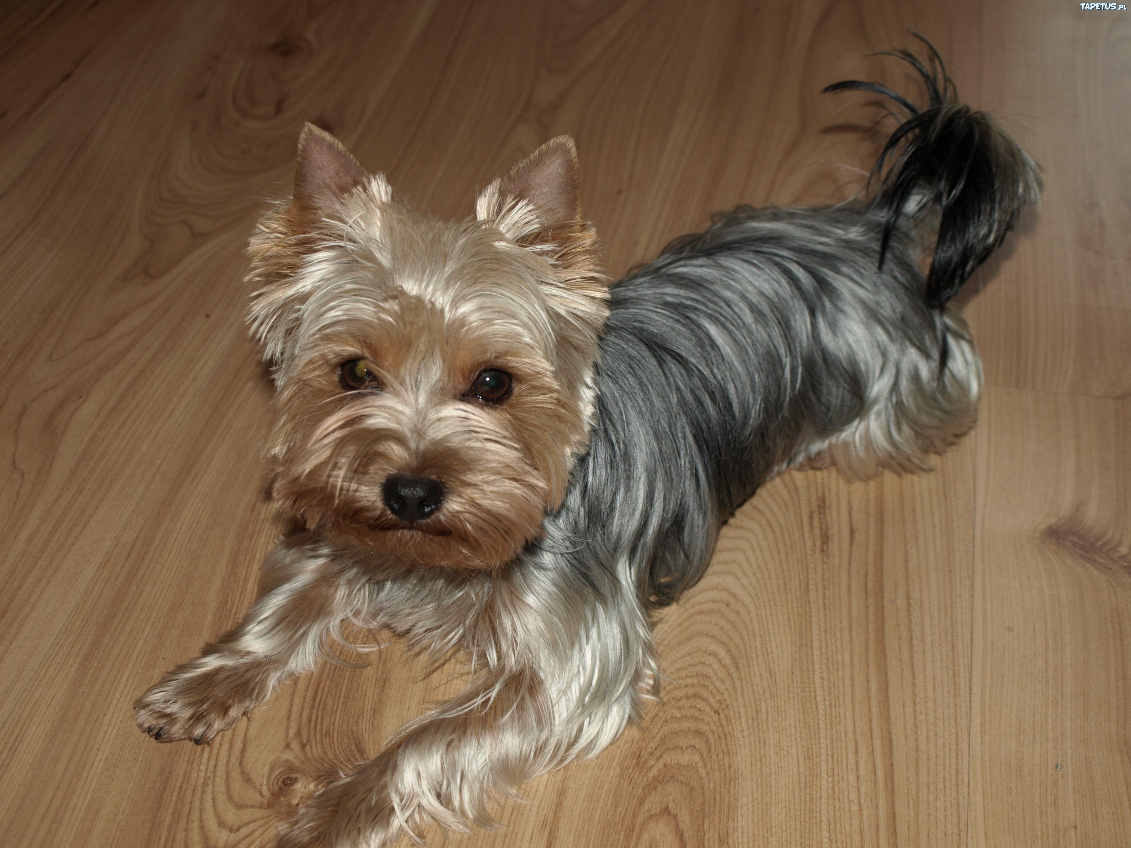 Tapeta Pies, York, Lśniąca, Sierść White Parson Russell Terrier