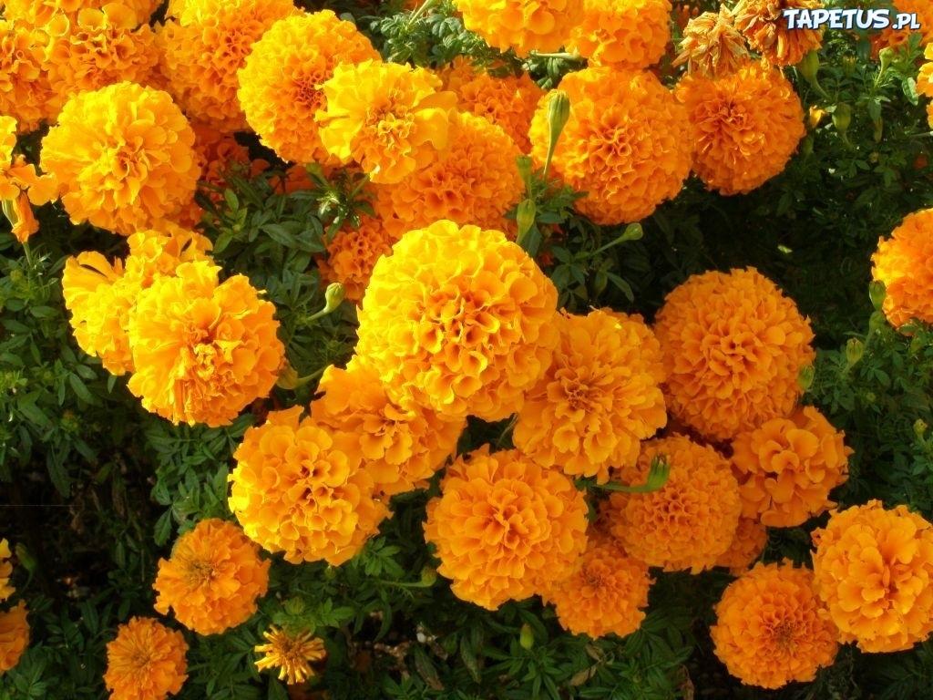 Image Result For Indian Marigold Flower Garden