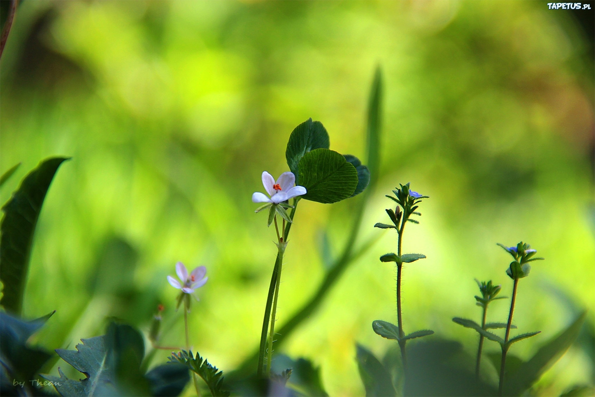 Цветы клевер  № 1341192 загрузить
