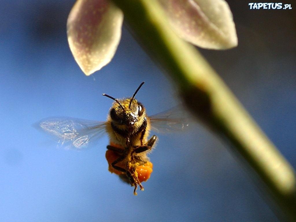 Pszczo a lot odyga - Api up ...