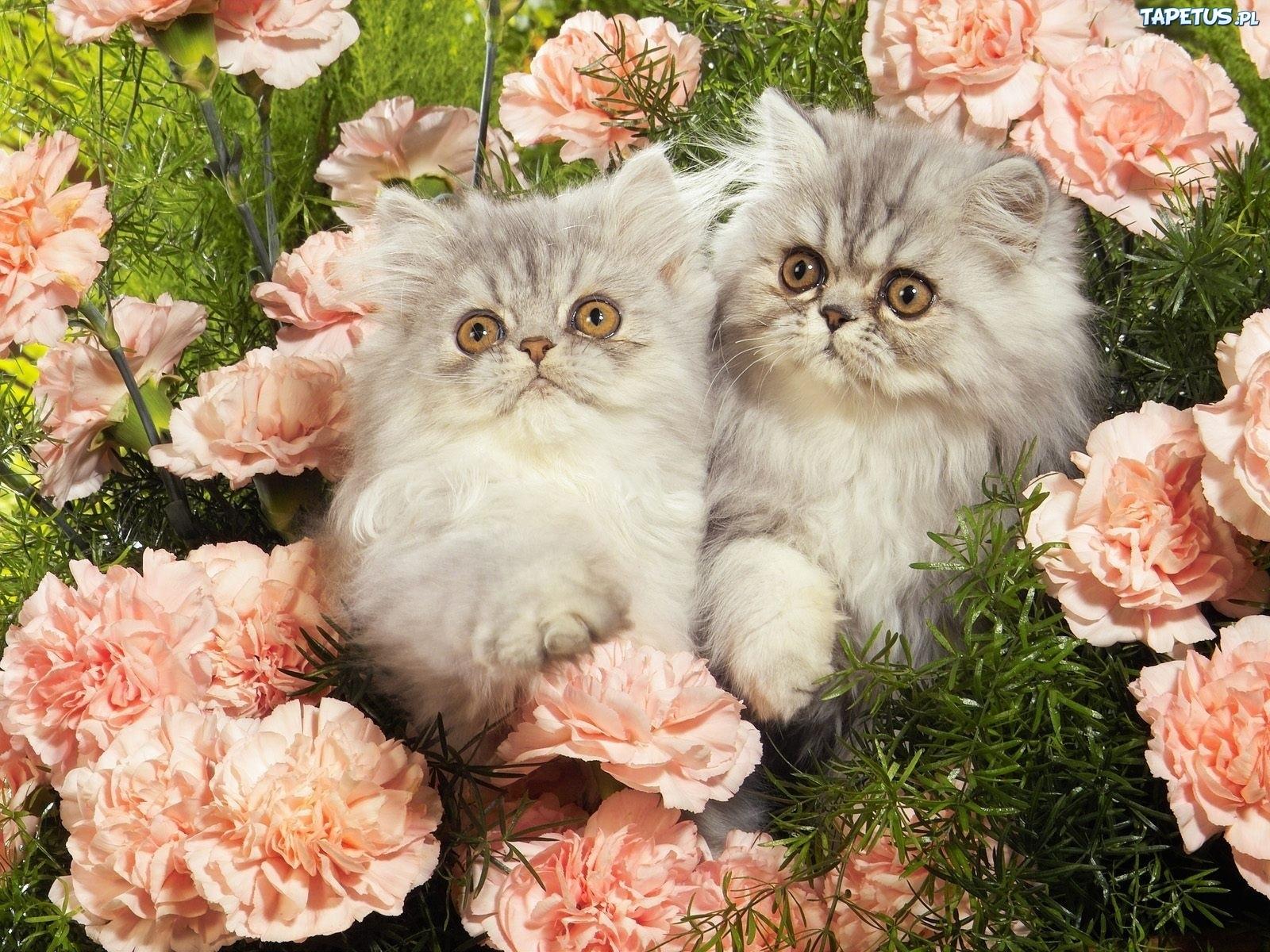 Koty, Perskie, Kwiaty,...