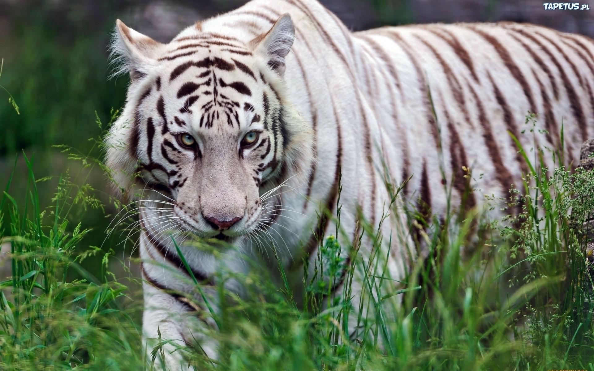 Ekstra   rednia  10 00   G  os  243 w  1White Siberian Tiger Eyes