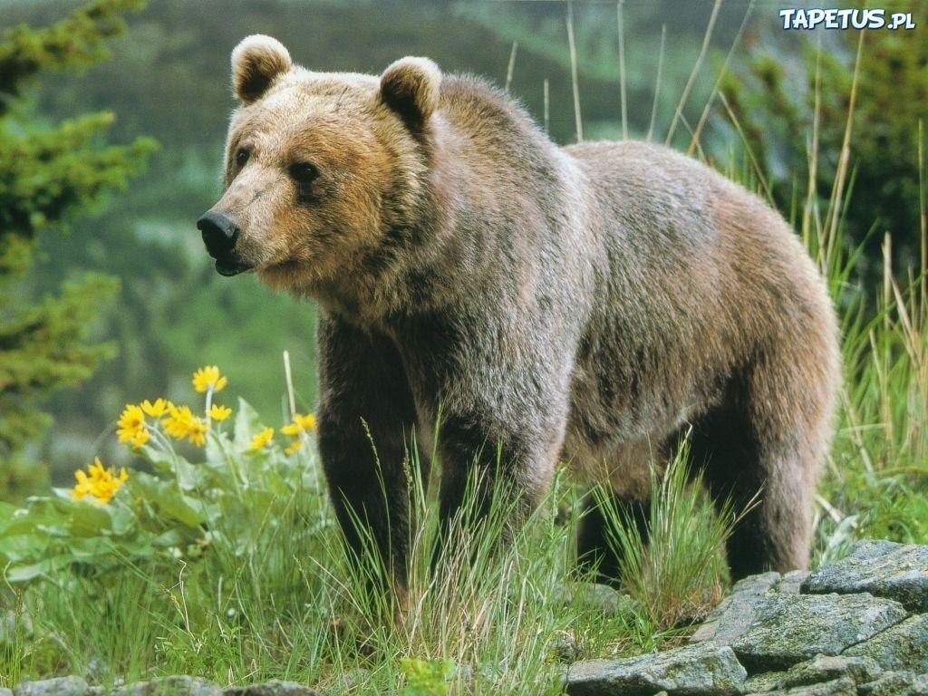 Znalezione obrazy dla zapytania niedźwiedx