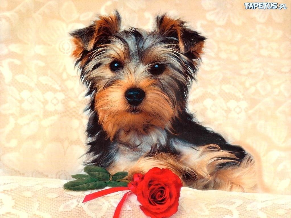 Tapeta Pies, Yorkshire Terrier, Róża White Parson Russell Terrier