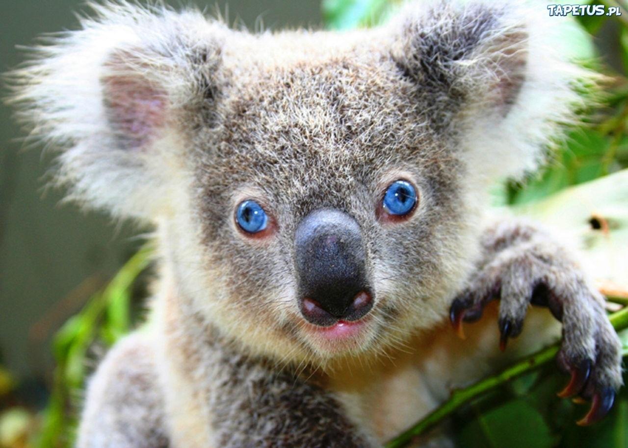 Miś, Koala, Niebieskie, Oczy, Gałązka