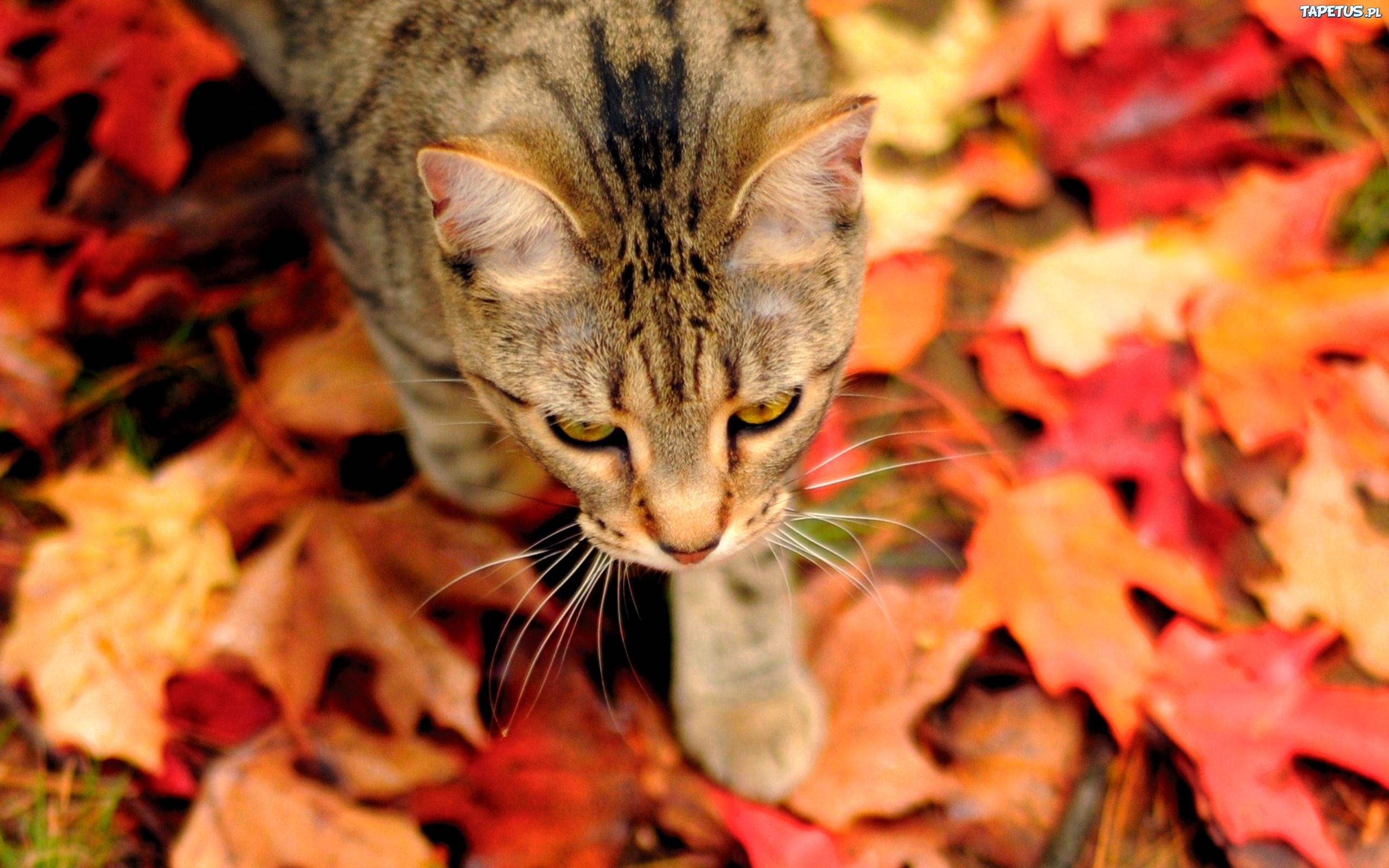 Обои на рабочий стол с кошками осенью
