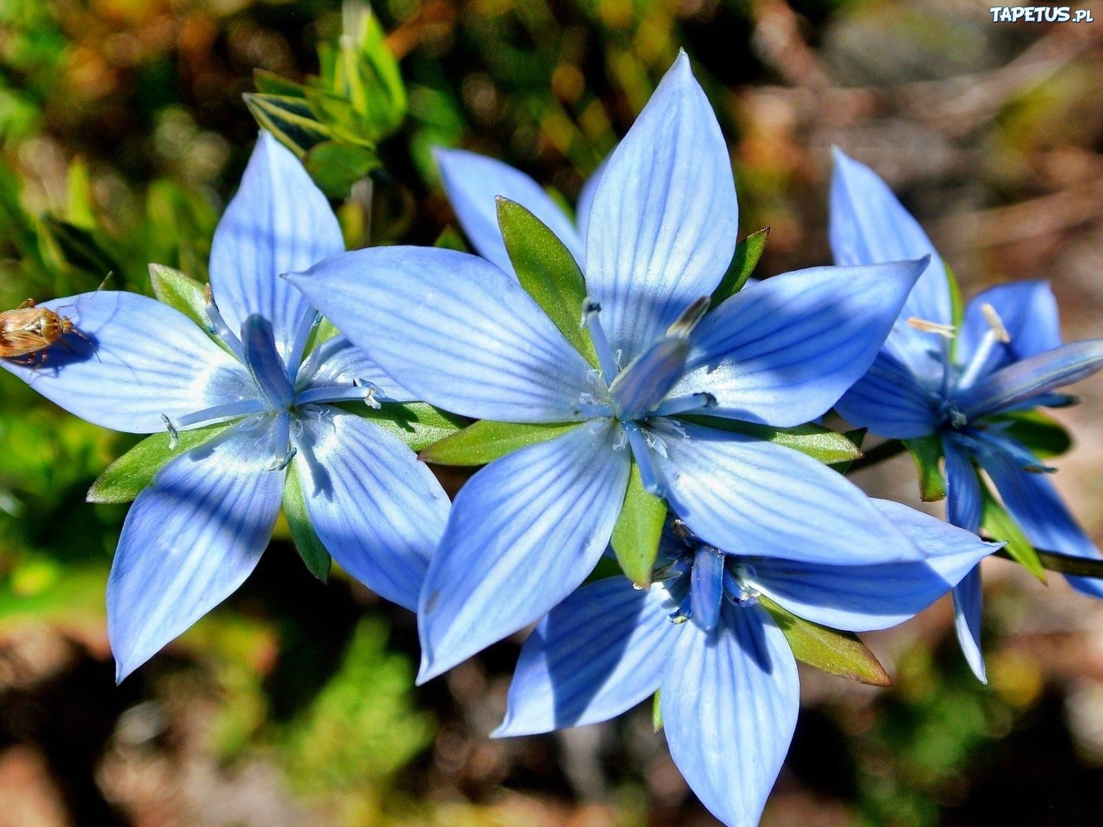 ... www.zdjecia.biz.pl/zdjecia/duze/kwiaty-niebieskie-abstrakcja-1.jpeg