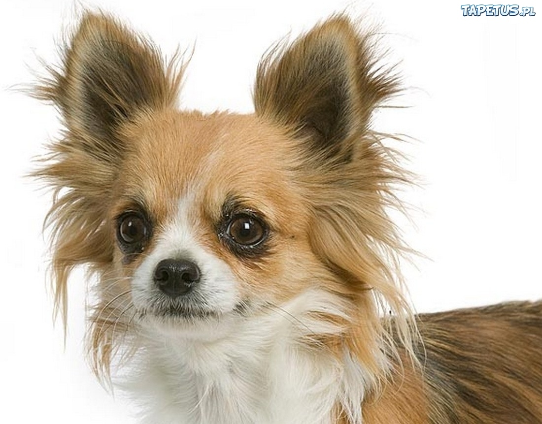 Tapeta Pies, Chihuahua