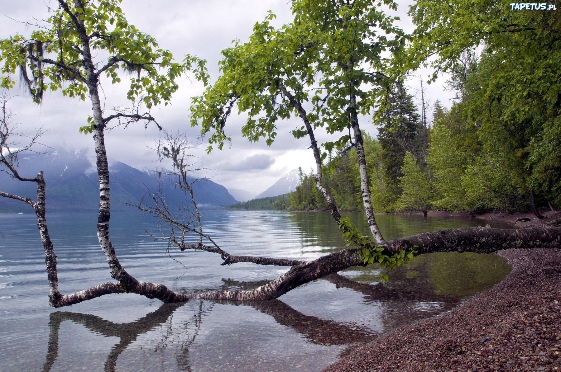 березы берег озеро  № 1195469 без смс