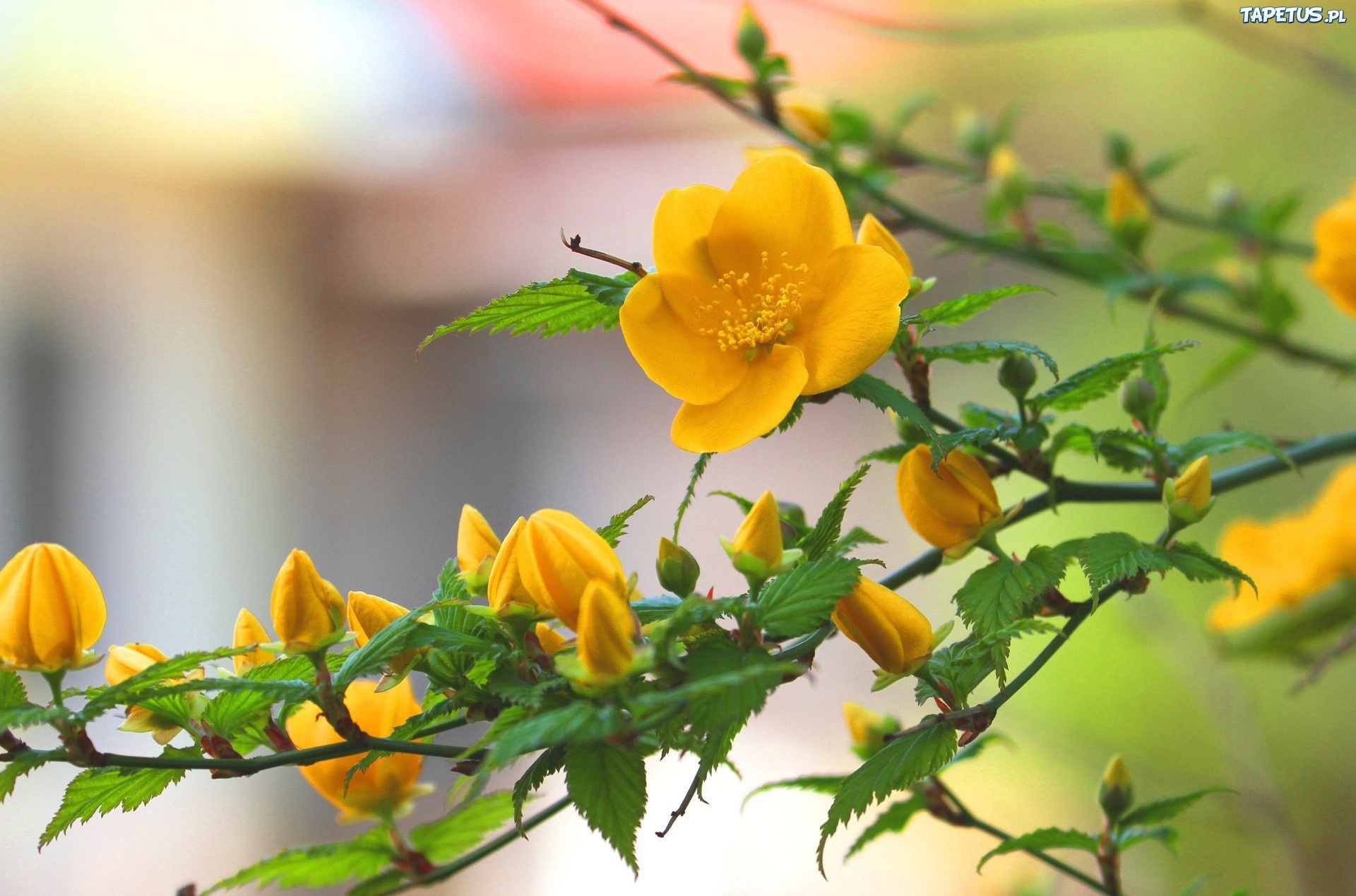 Желтый распустившийся цветок  № 731747  скачать