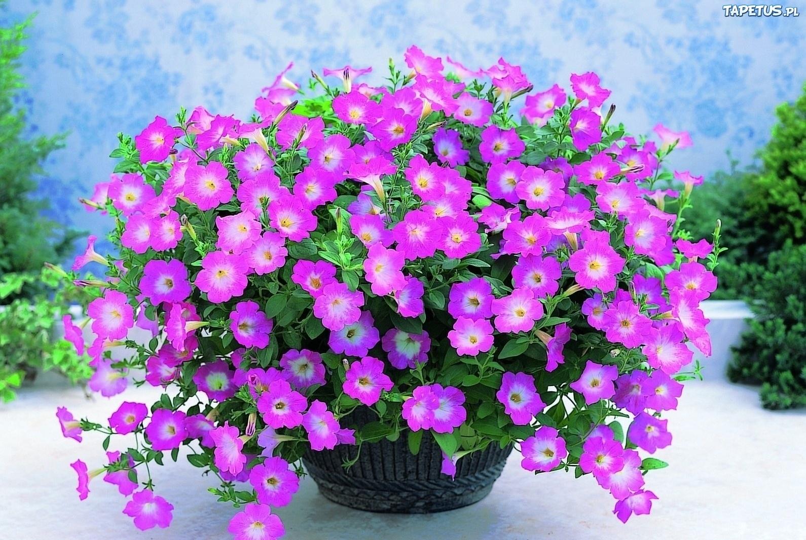 http://www.tapetus.pl/obrazki/n/168005_kwiaty-werbena-ogrodowa-doniczka.jpg