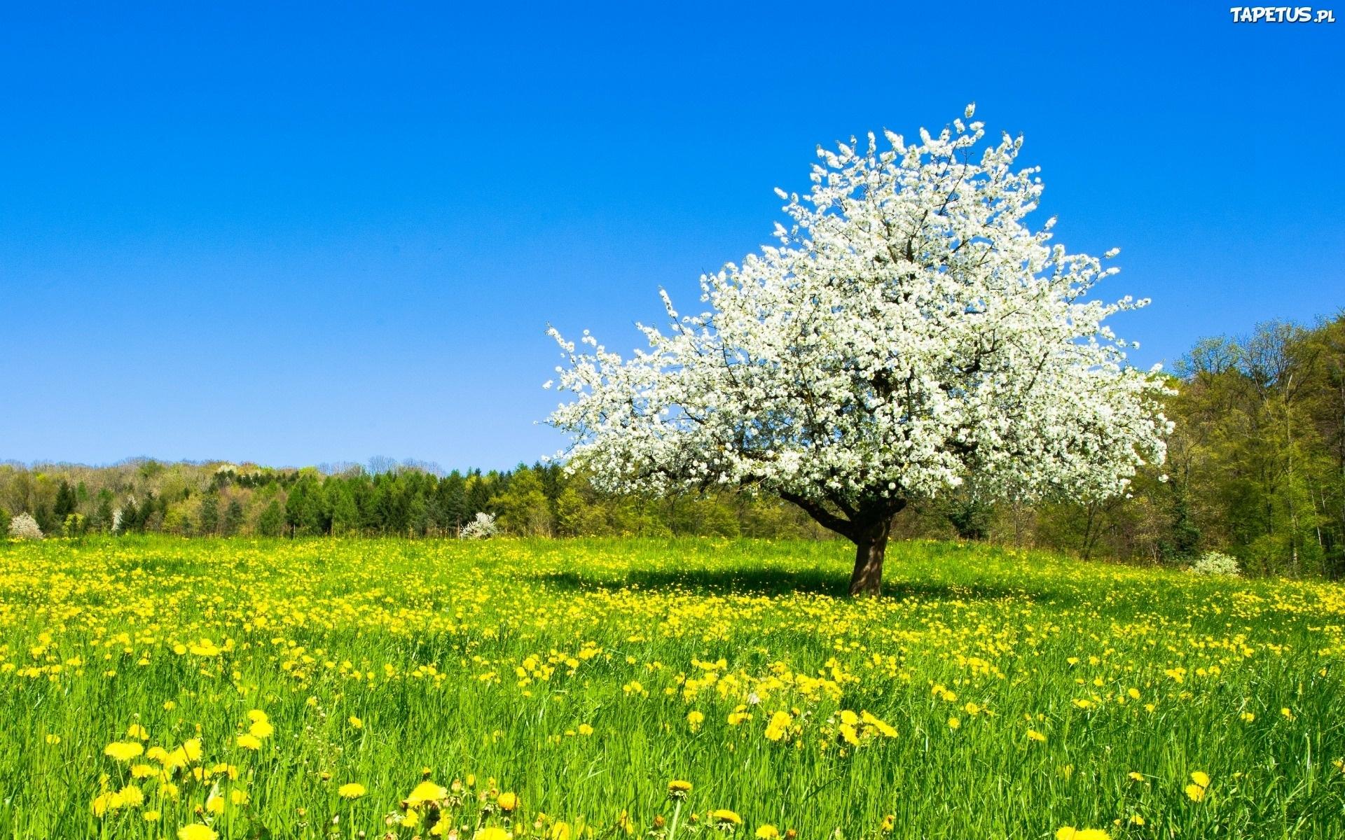 Tapeta Łąka, Kwiat, Drzewo, Las, Wiosna