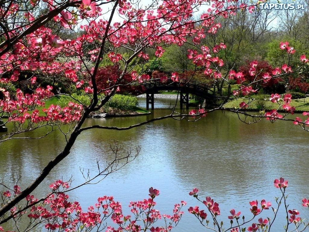 Tapeta Park, Rzeka, Most, Kwitnące, Drzewa, Wiosna