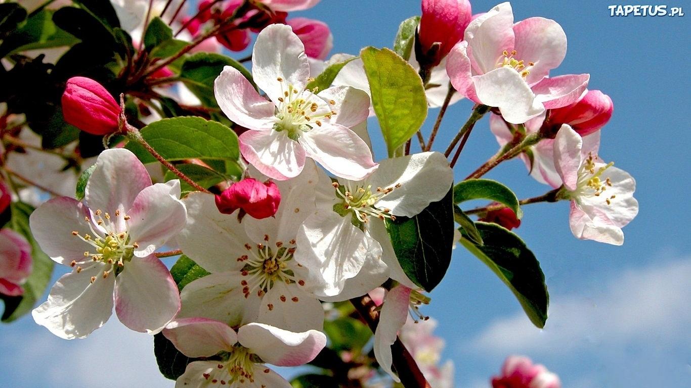 Обои цветущая яблоня на рабочий стол 4