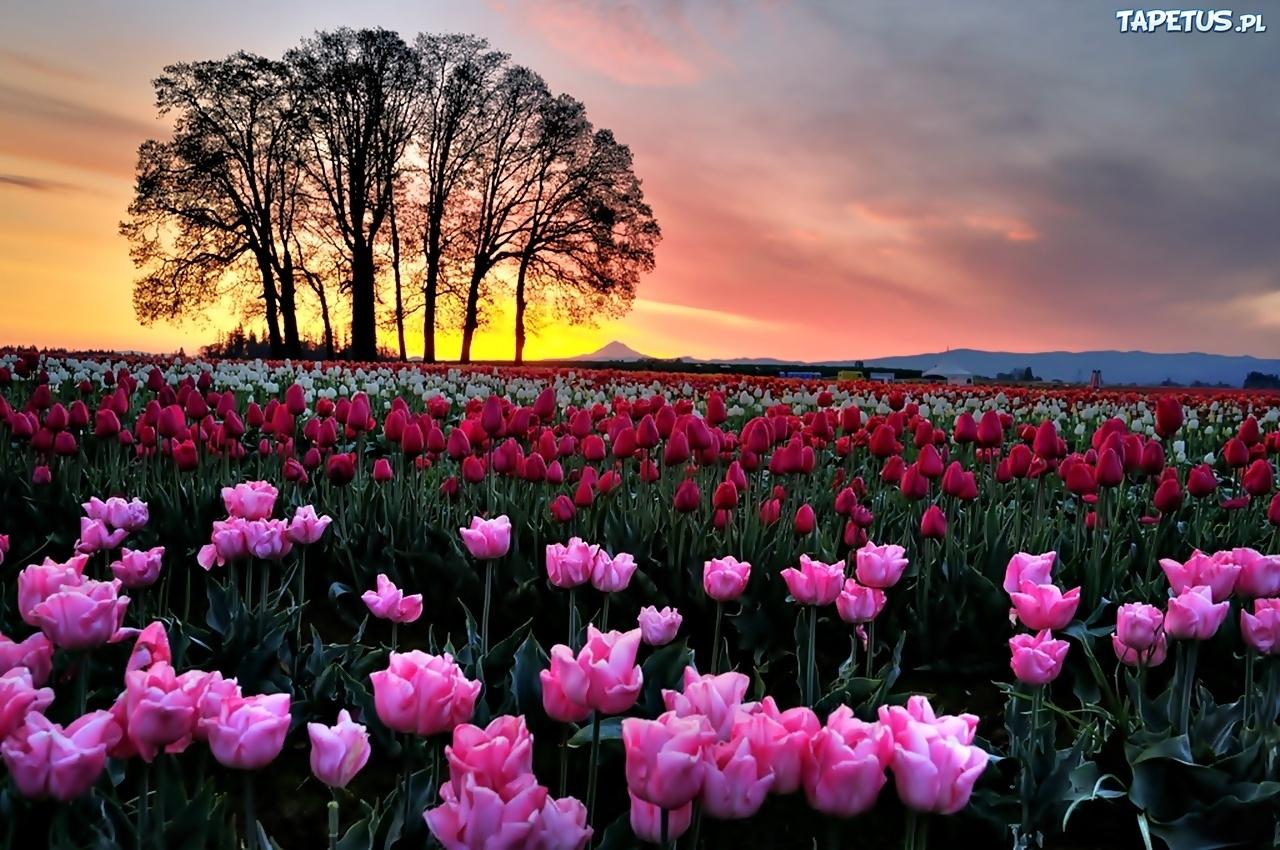 Zach d s o ca drzewa pole kolorowych tulipan w for Immagini per desktop fiori