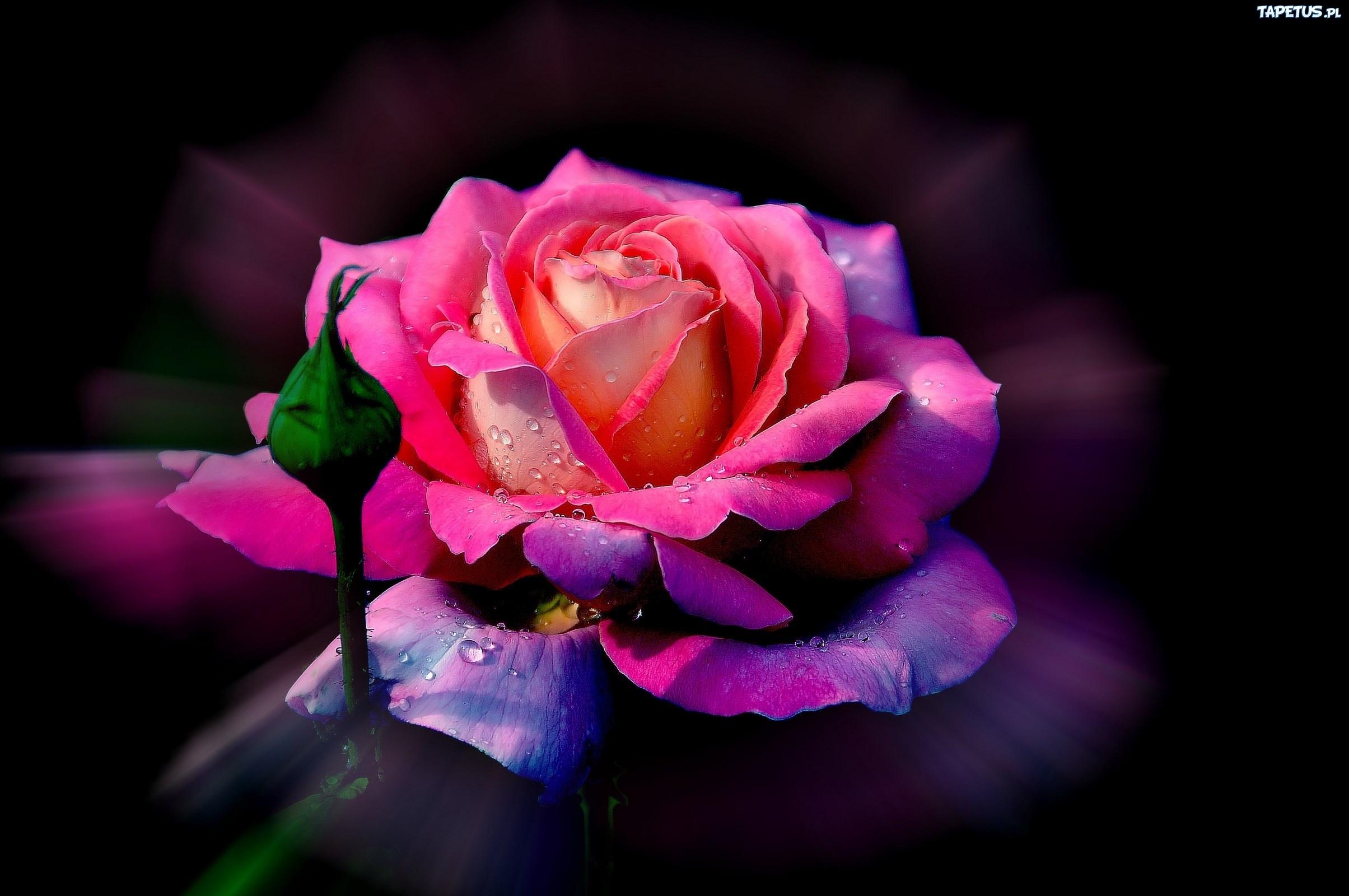 Роса на лепестках розы  № 2451502 загрузить