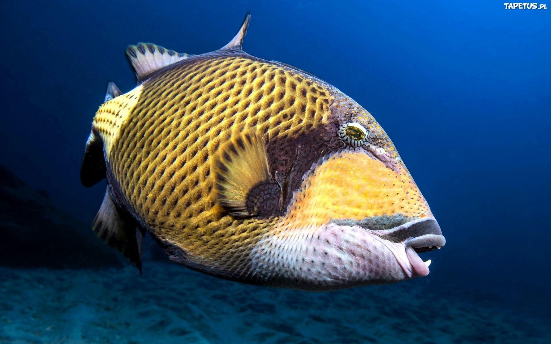 Желтая Рыба макро  № 1088110 бесплатно