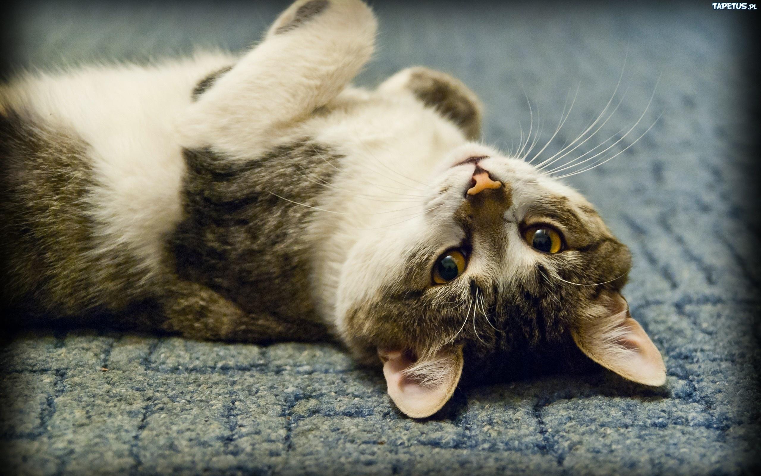 Лежащий кот  № 176205 бесплатно