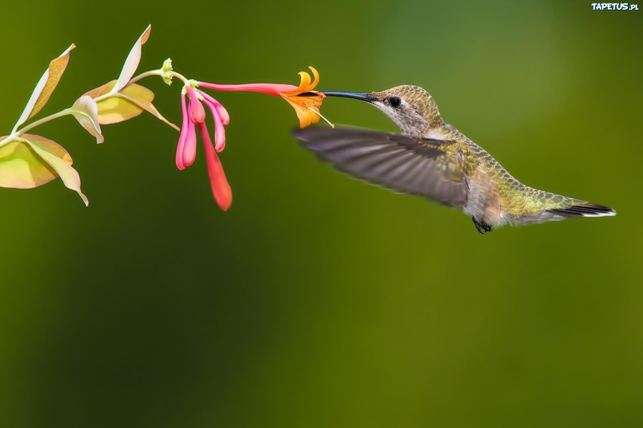 птица природа ветка колибри  № 1994339 бесплатно