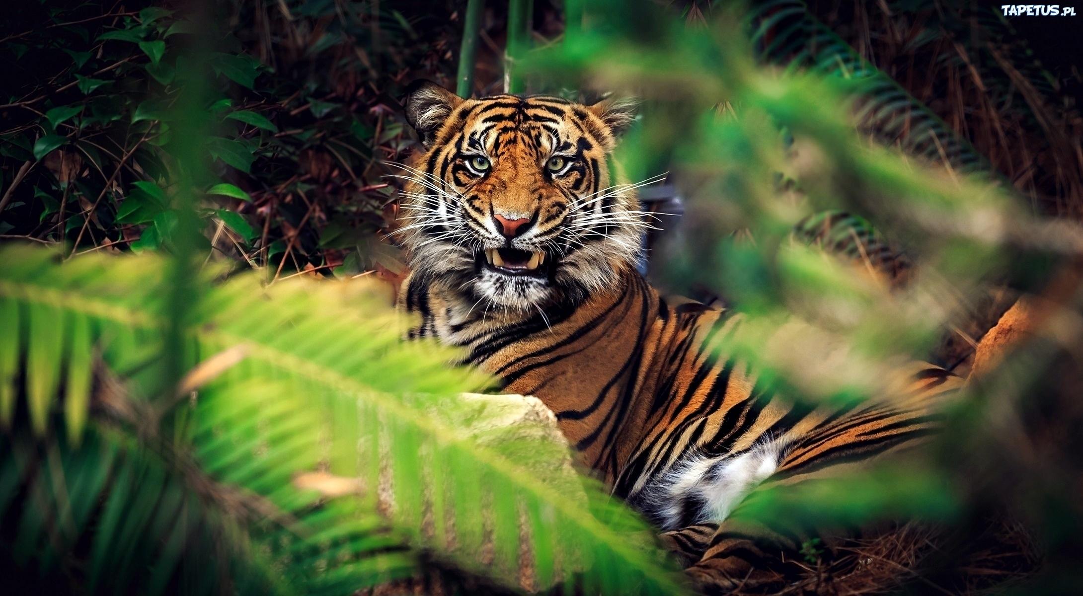 природа животные тигры nature animals tigers  № 1297218 бесплатно