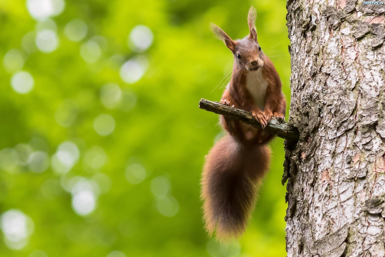 природа животные белка nature animals protein  № 1115696  скачать