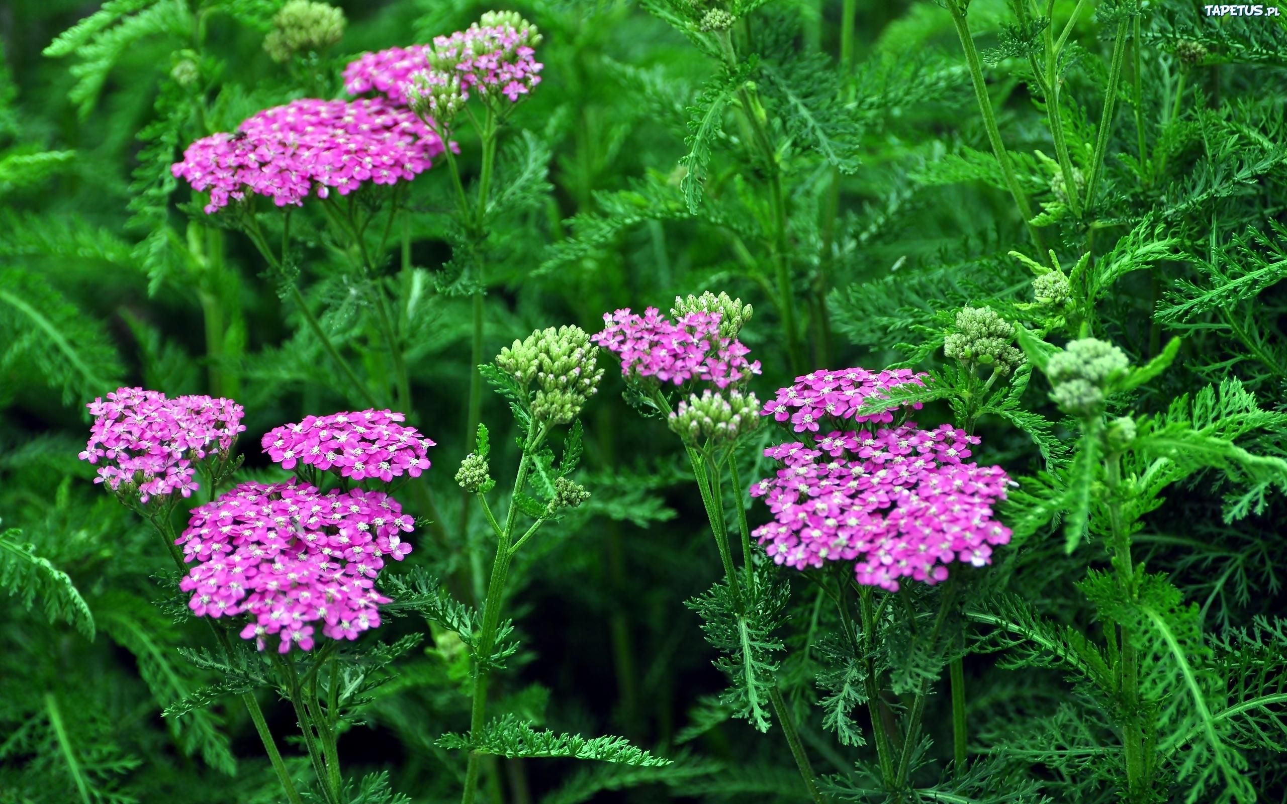Тысячелистник цветов и