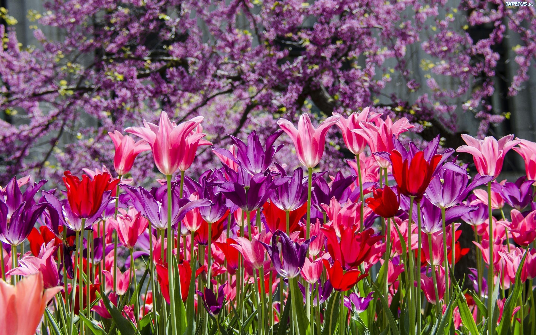 Фиолетовые тюльпаны в саду  № 1325951 бесплатно