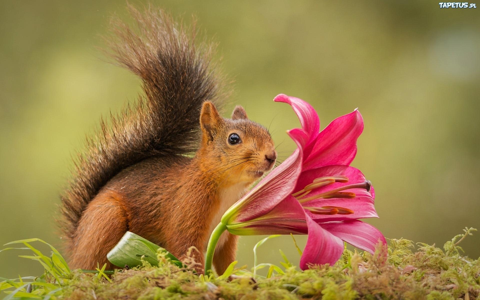 белка цветок  № 1177571 бесплатно