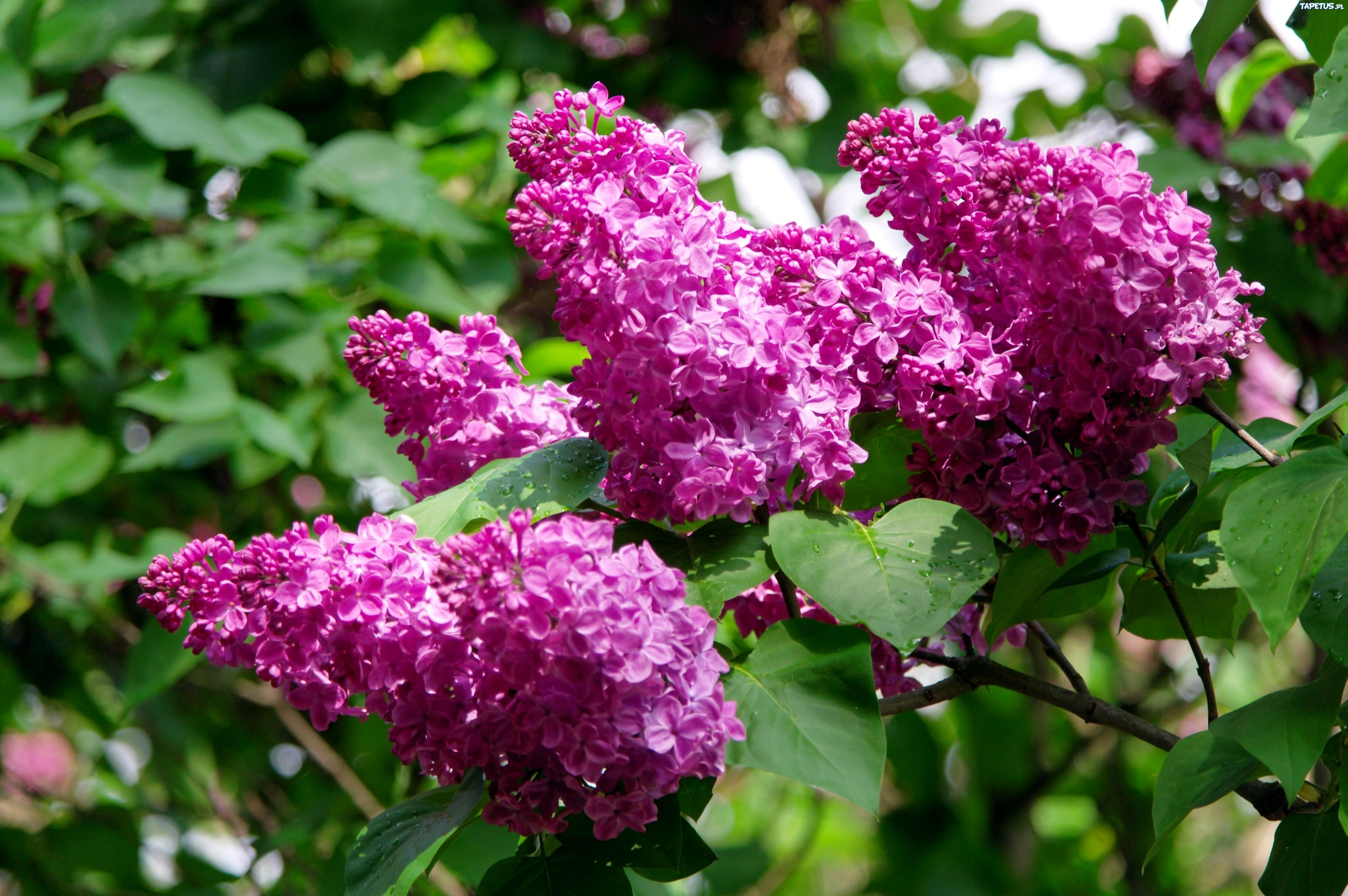 цветы природа сирень  № 2224242 загрузить