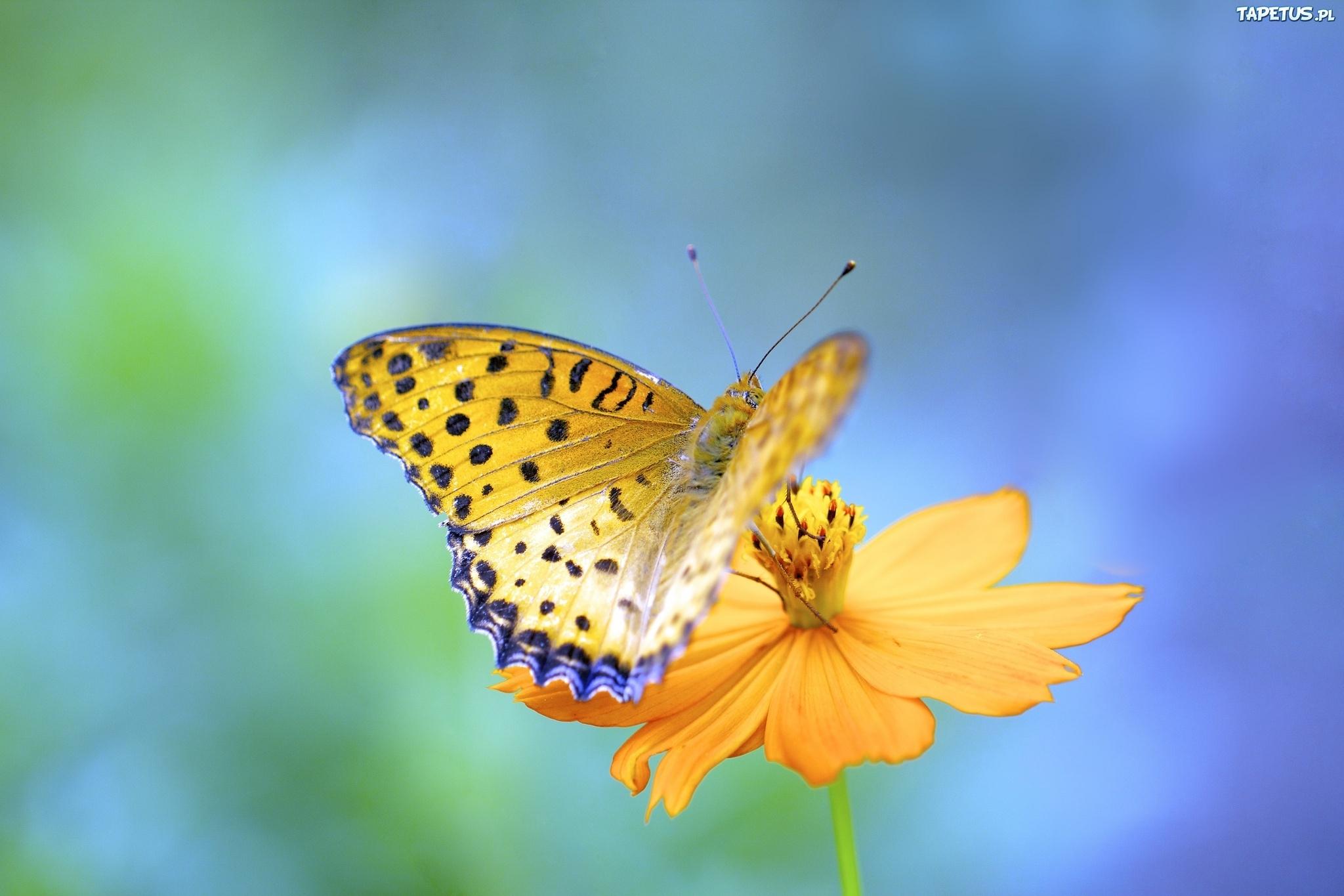природа макро бабочка цветы желтые  № 1238604 без смс