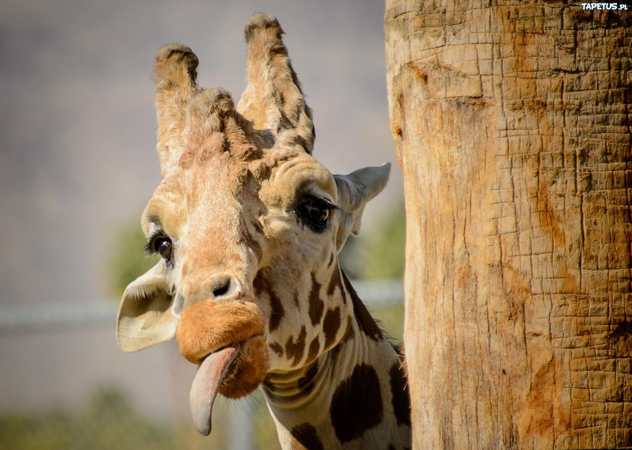 Жираф испугался  № 3895589 без смс