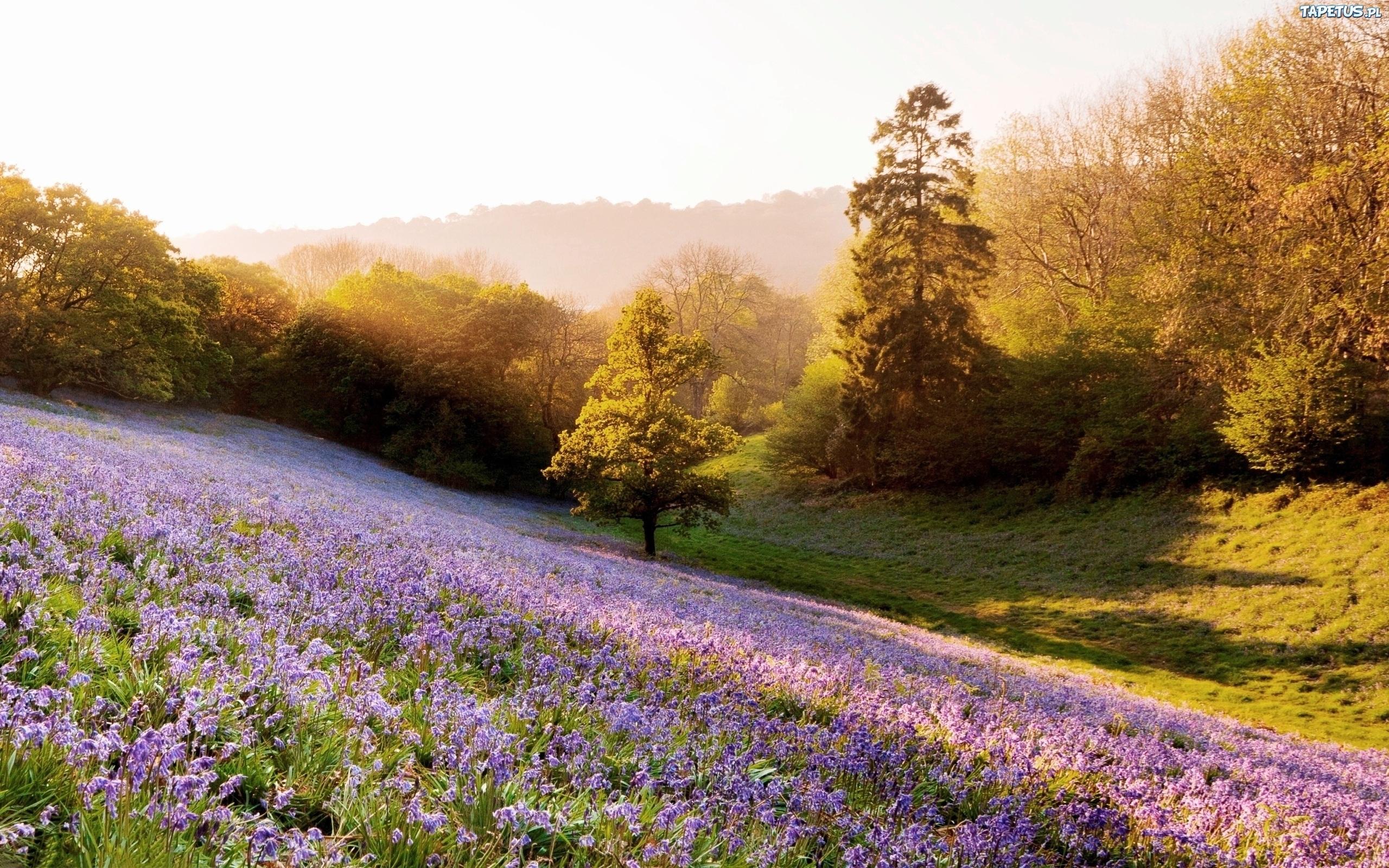 Цветы природа лаванда  № 1352173 бесплатно
