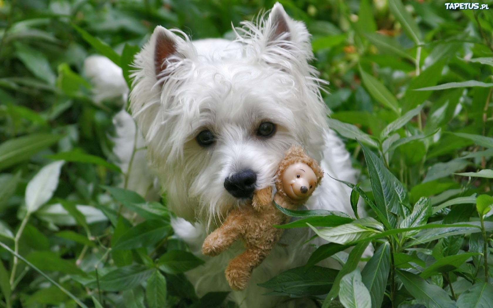 west highland white terrier - JungleKey.fr Image #250
