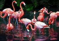 Flamingi, Staw
