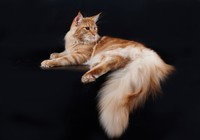 Kot, Maine, Coon