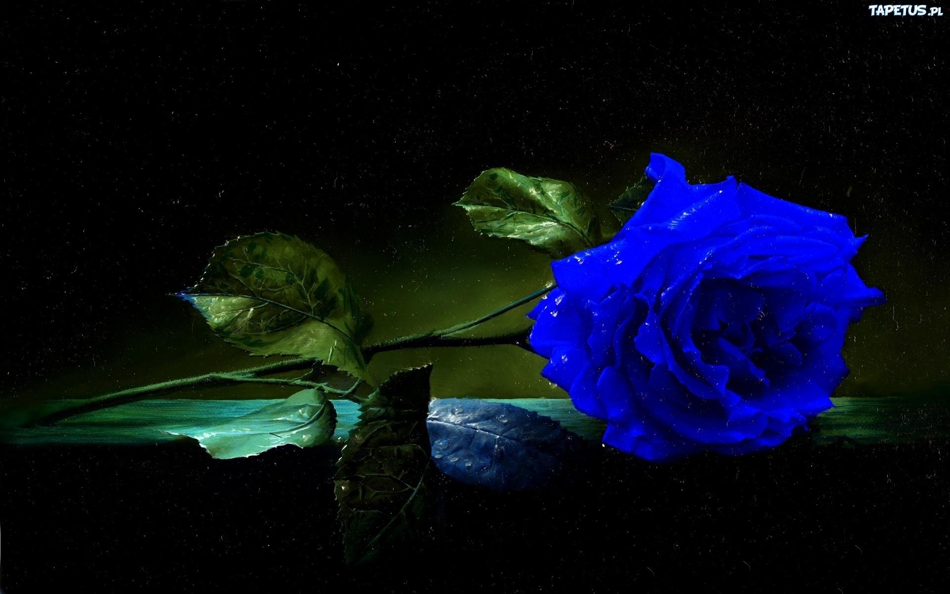 Kwiaty, Róża, Niebieska - photo#20