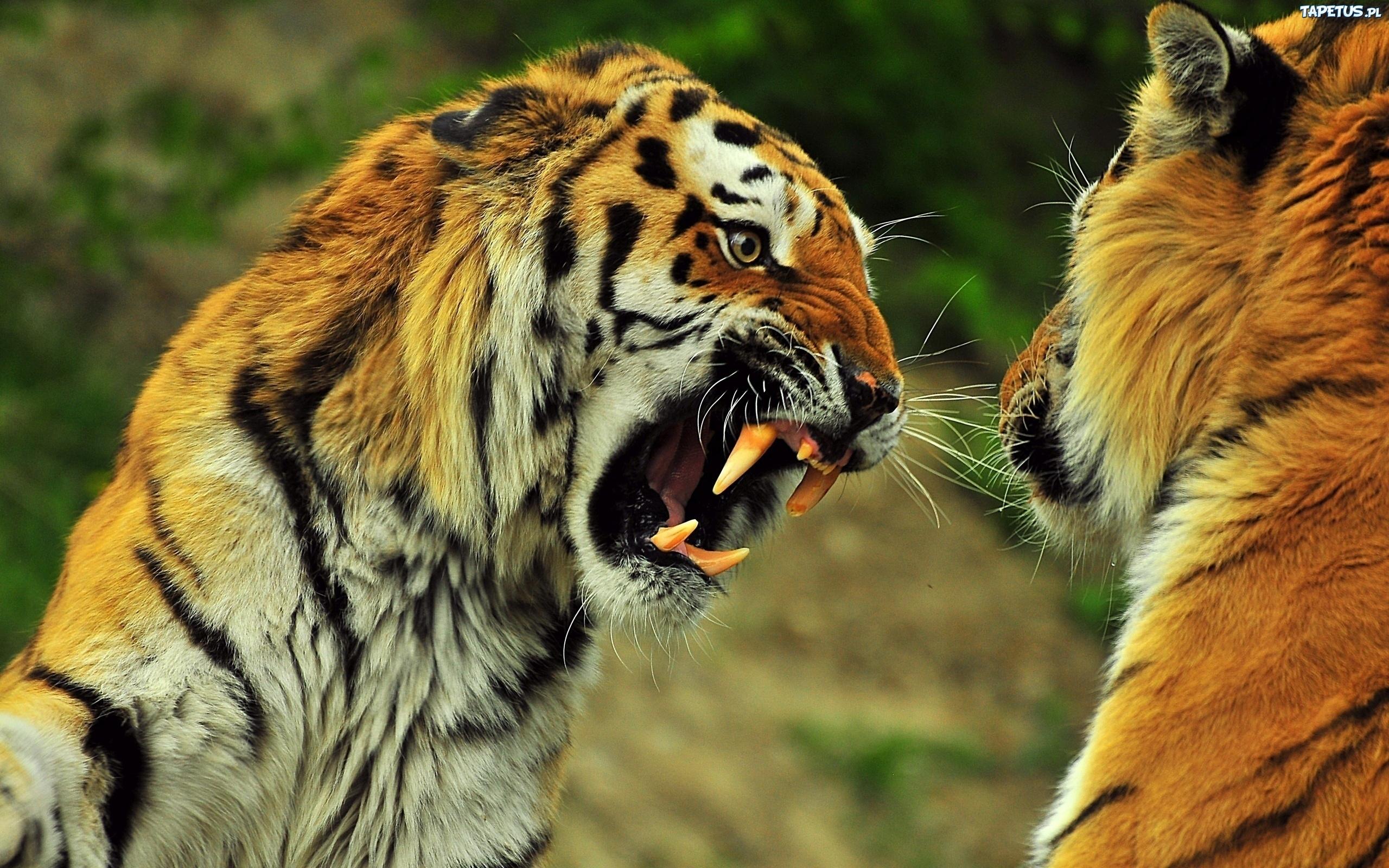 Tygrysy Kły