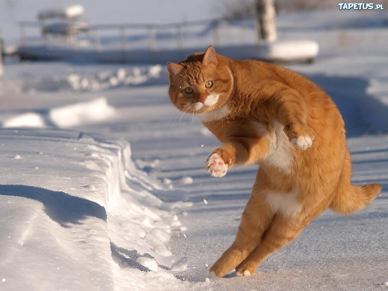 Rudy Kot śnieg