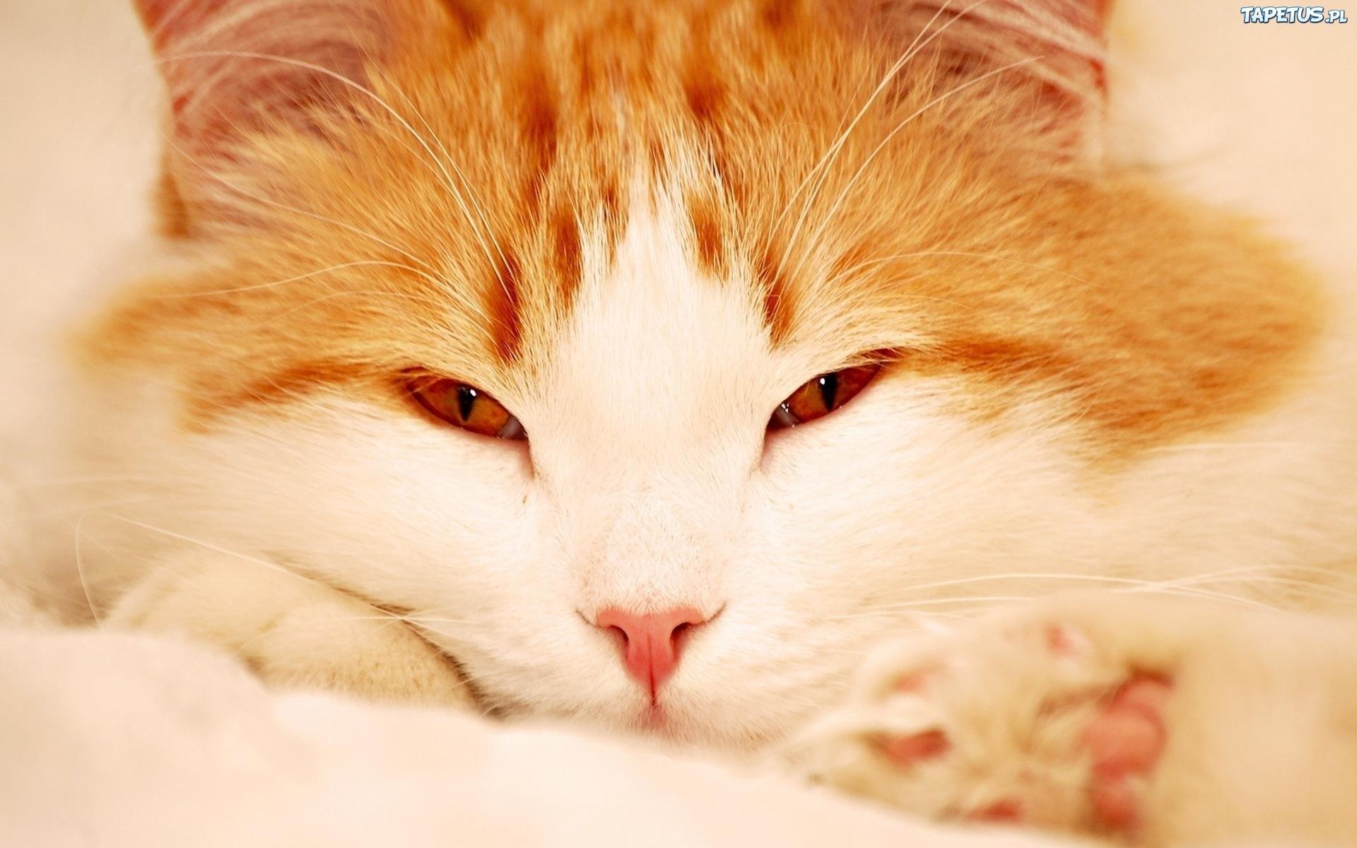 Leżący Rudy Kot Oczy