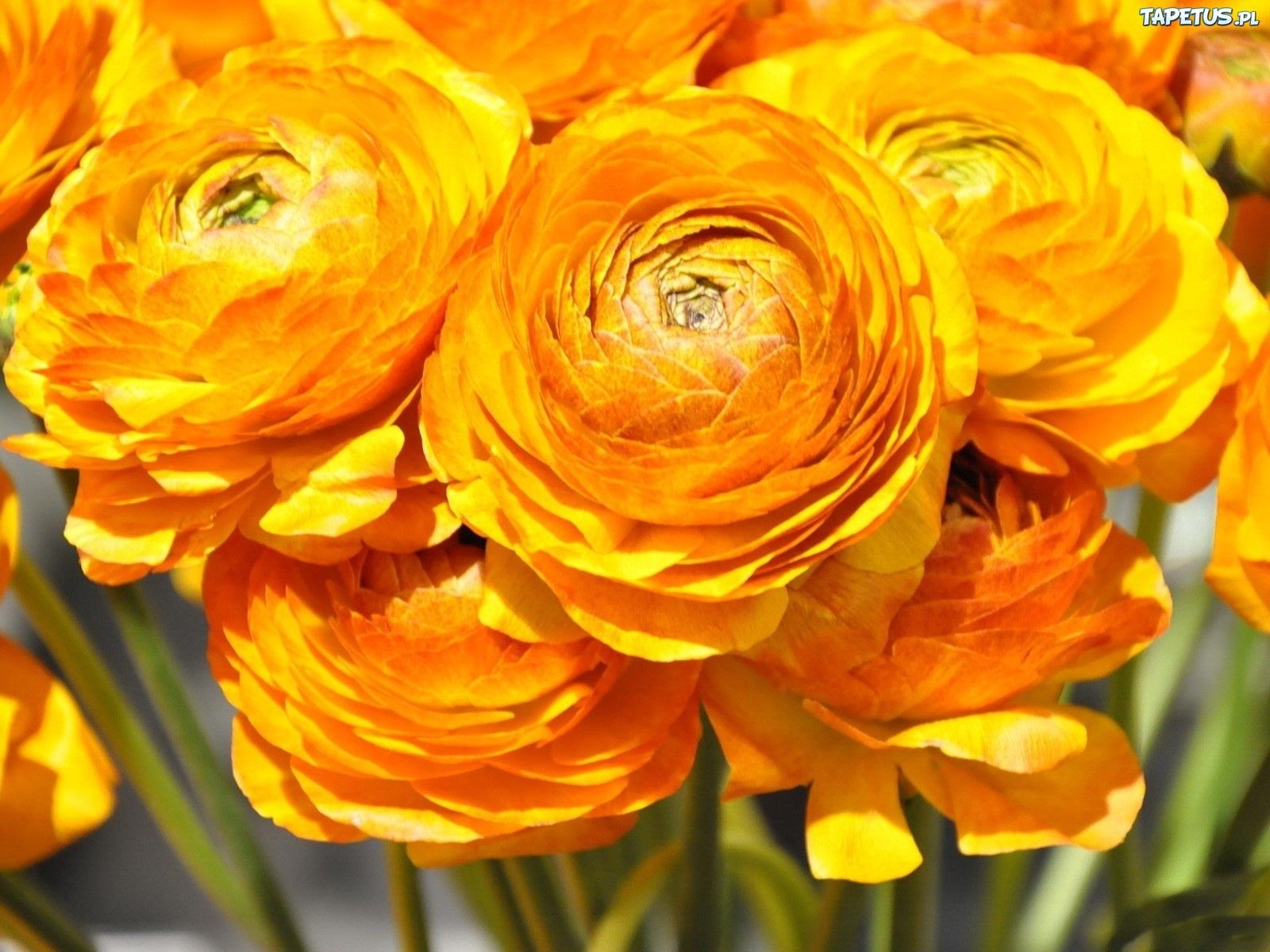 Цветы оранжевые лютик скачать