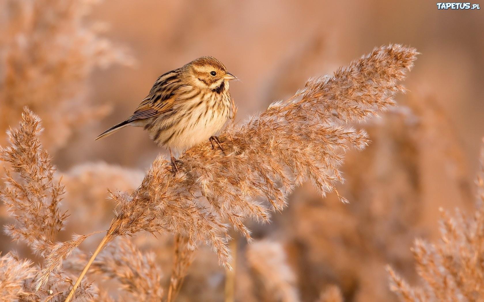 напыщенная птичка без смс
