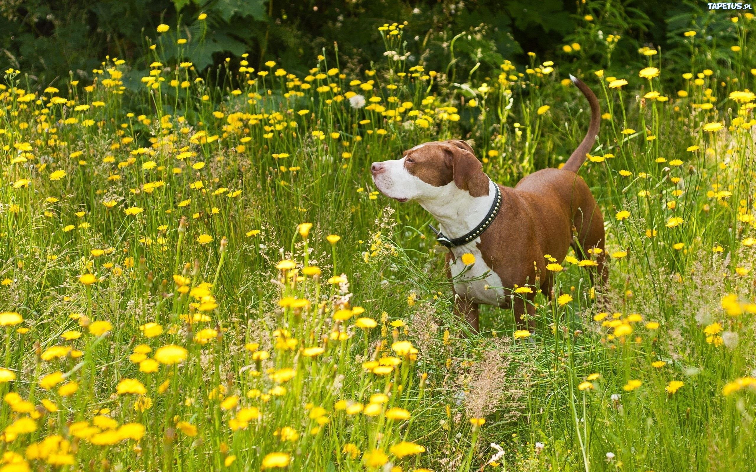 собачка, поле, цветы, экстерьер скачать