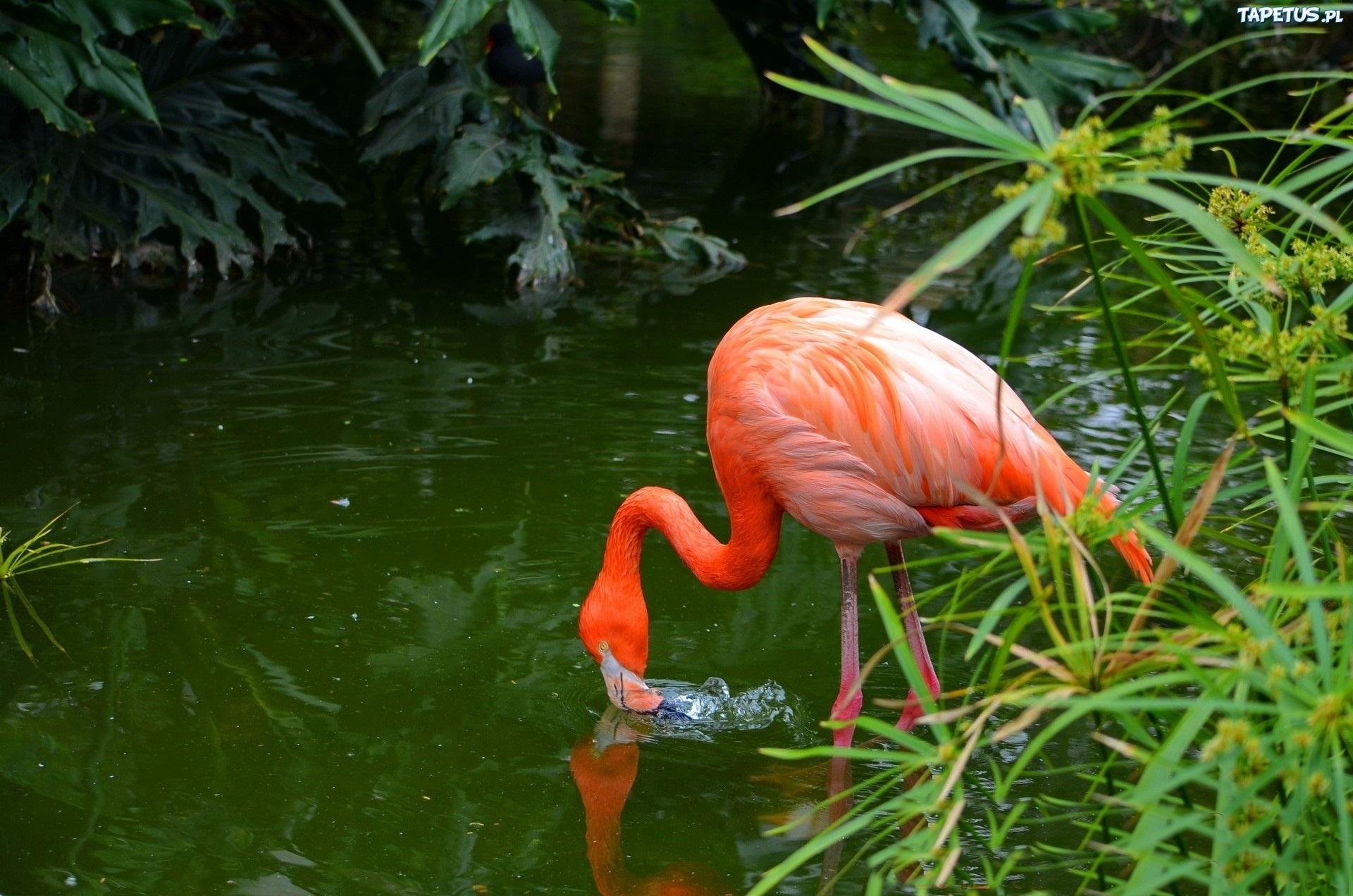 Розовый фламинго без смс