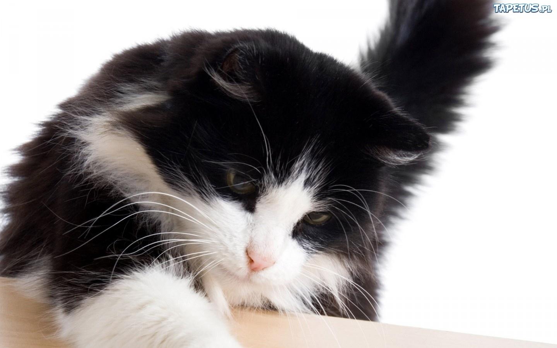 Biało Czarny Kot łapa