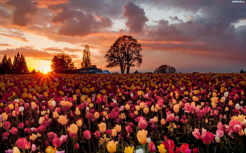 поляна цветы тюльпаны небо деревья скачать