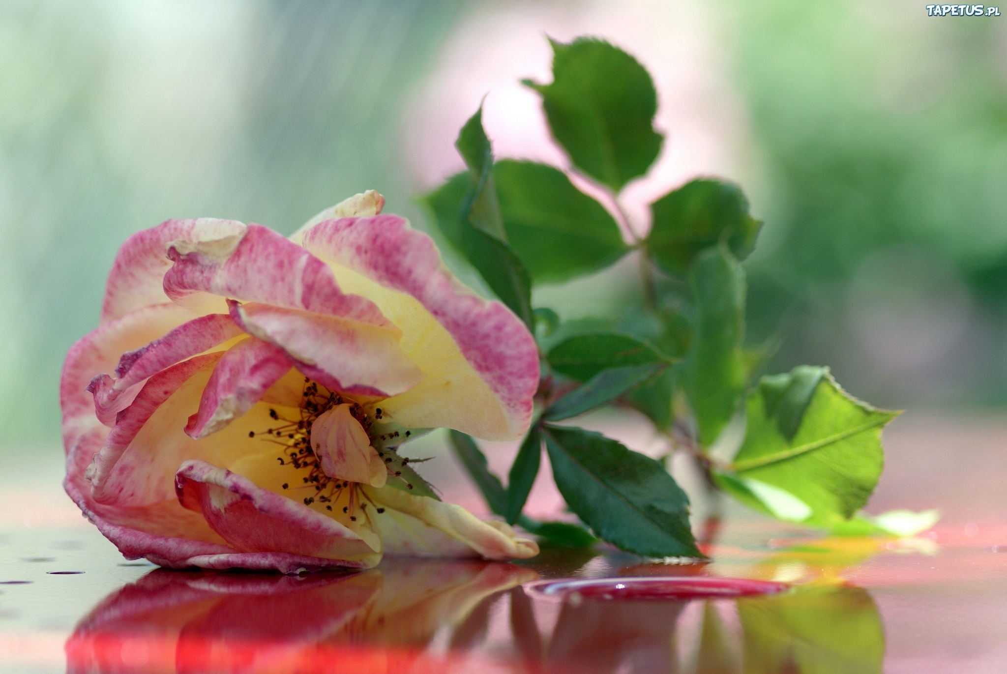 Чайная роза скачать